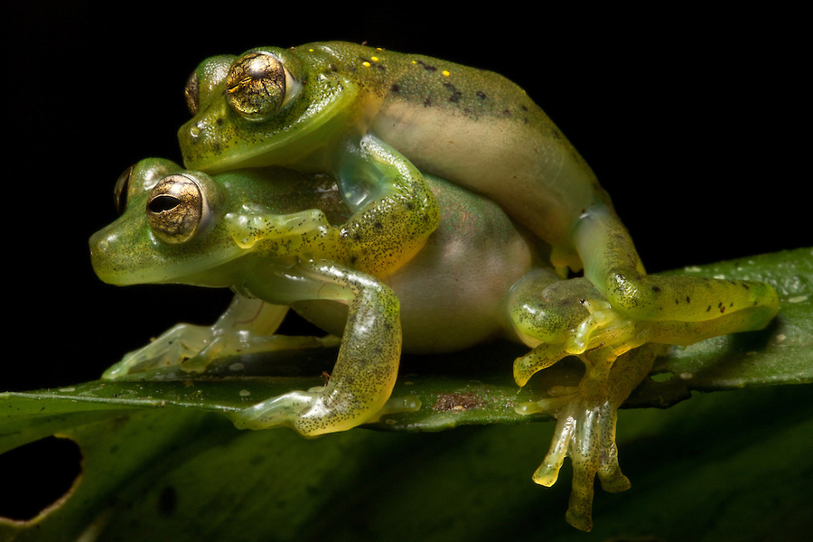Frogs Sex 92