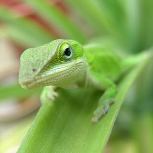 illustration chameleon green-anole-lizard-00021