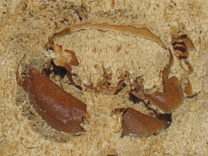 ocalina floridana stone crab fossil