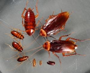 american cockroach life stages
