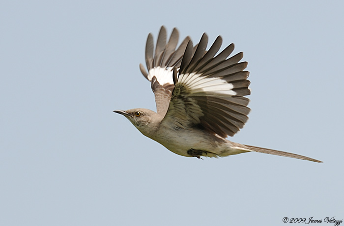 illustration mockingbird mimus polyglottos