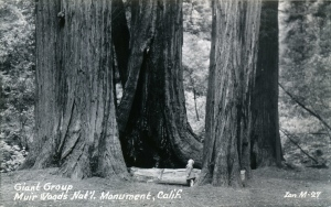illustration muir woods