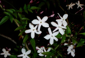 illustration night blooming jasmine