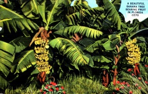 illustration banana tree