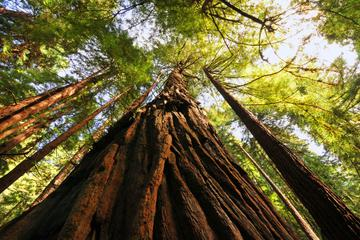 illustration muir woods 2